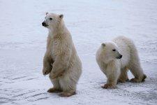 canada-polar-bears.jpg